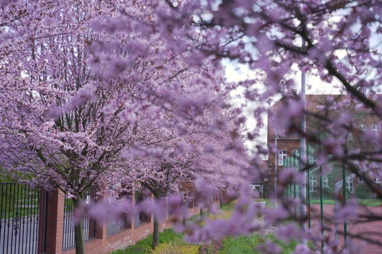 Piękna wiosna w Pyskowicach (zdjęcia)